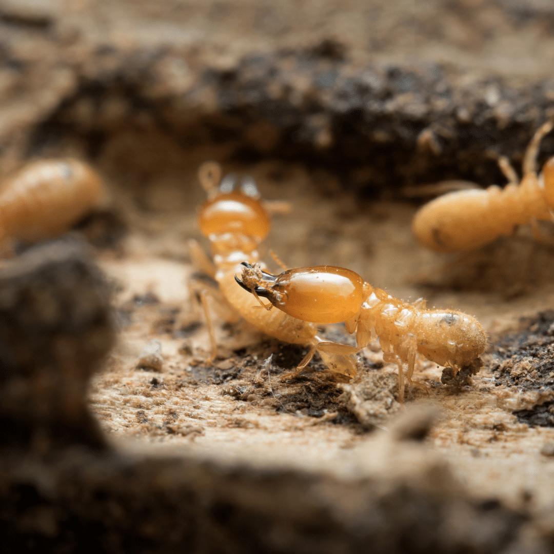 termites pest contol