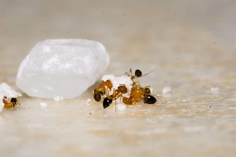 acrobat-ants-pest-control