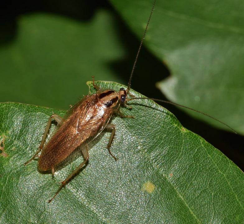 german cockroach pest control