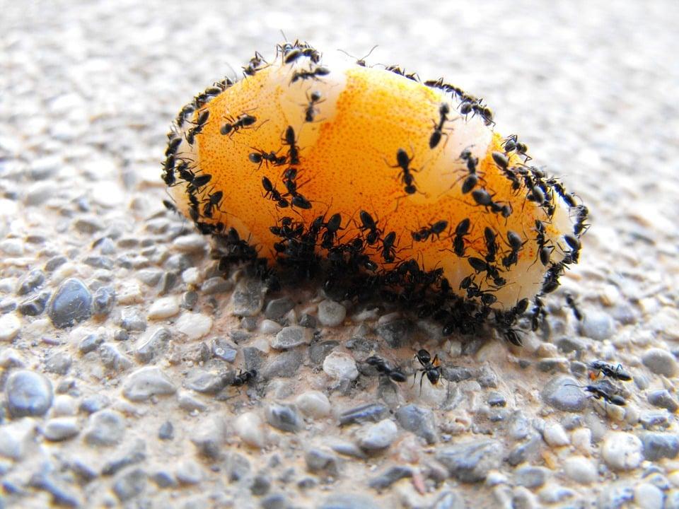 pavement ant pest control